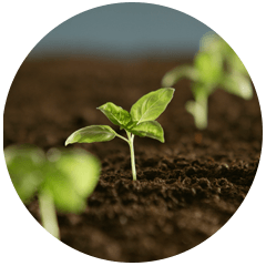 seedling sunflower