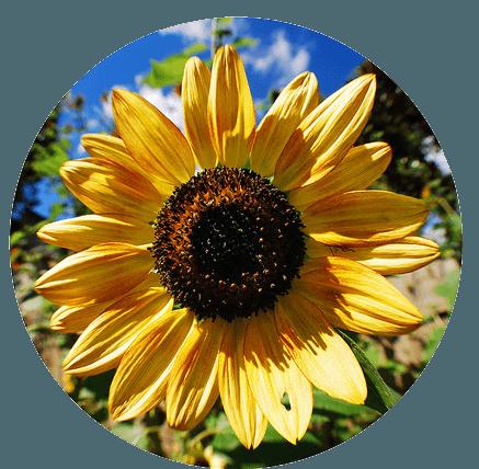 semena podsolnechnika kupit