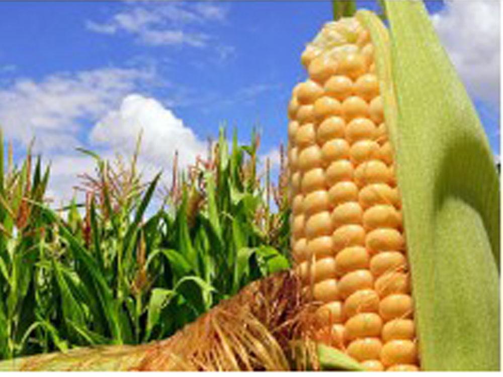 Кукуруза выращивание и уход в открытом 60